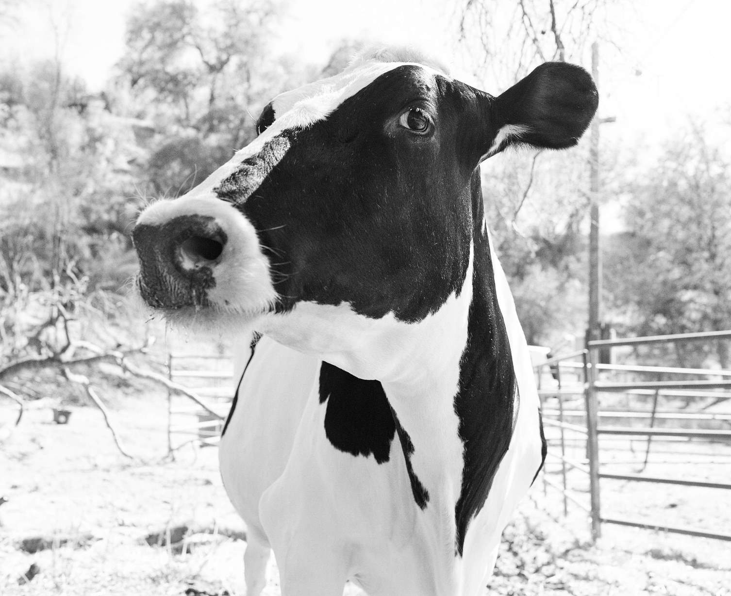 Molly - one of the real cows behind the 'Eat Mor Chikin' campaign