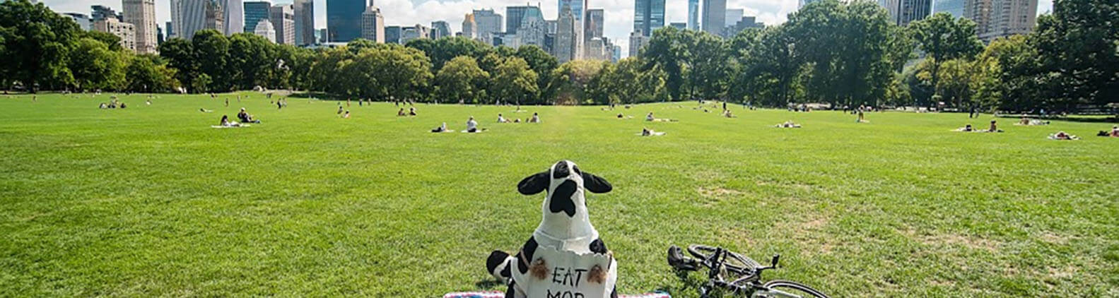 Cows rites of passage in New York City-Cow relaxing in Cantral Park