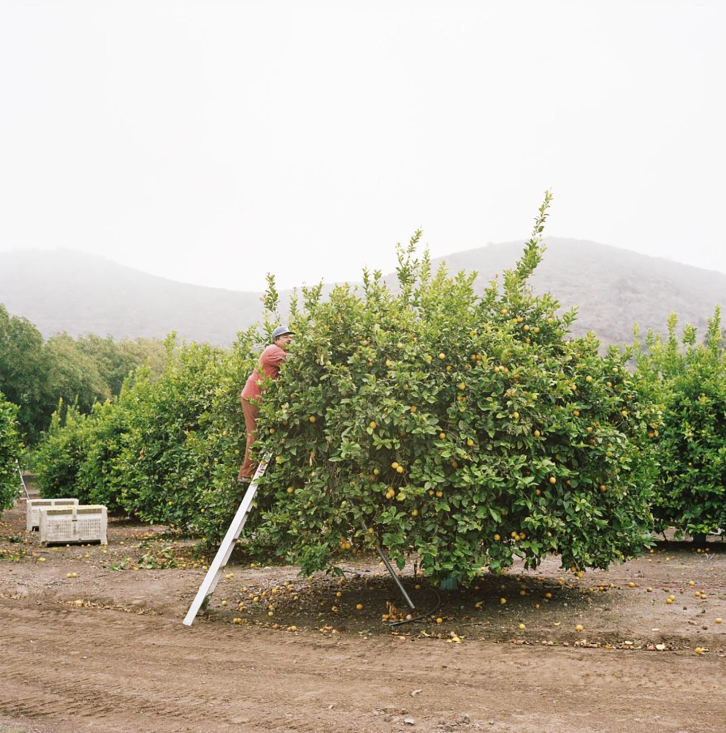 Tom Mayhew's lemon farm