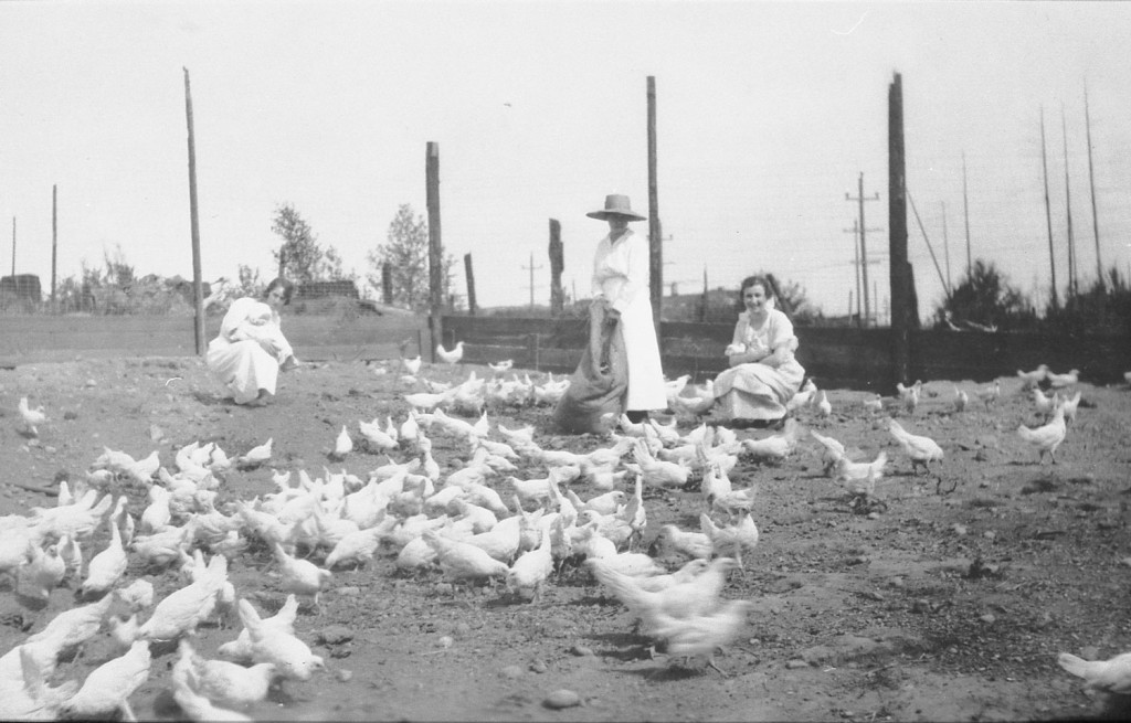 Tending chickens